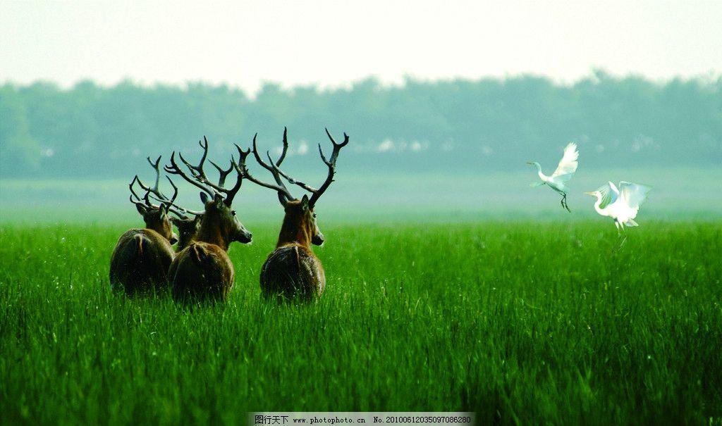 鹿与鹭 山麓 白鹭 鹤 草原 小鹿 鸟类 动物 生物世界 野生动物 大自然