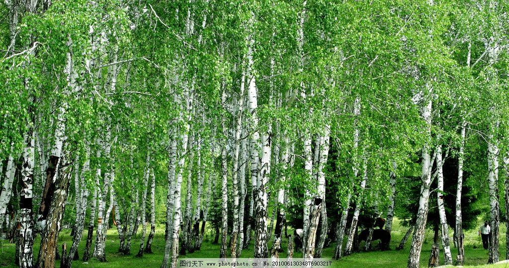 白桦林 白桦 树林 牧马 高清 背景 壁纸 墙纸 自然风景 自然景观 摄影