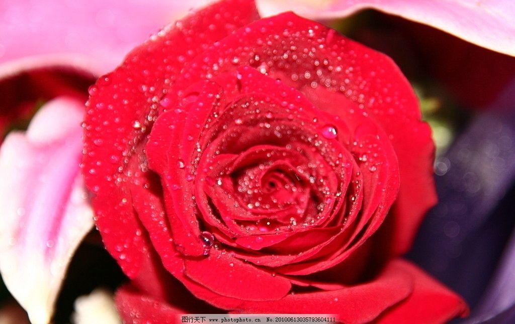 玫瑰 玫瑰花 爱情 情人 情人节 红玫瑰 jpg 高清 花草 生物世界 摄影
