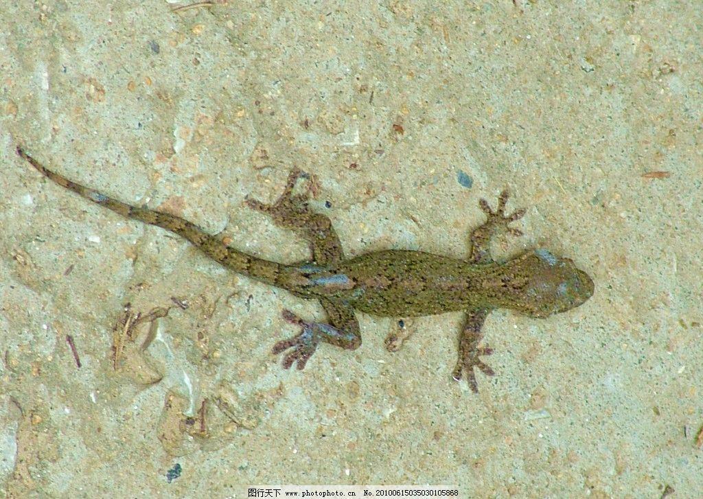 壁虎 小壁虎 爬行动物 动物 野生动物 小动物 生物世界 摄影 72dpi