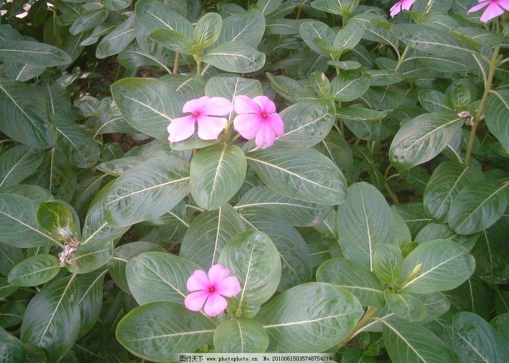 花和绿叶 绿叶 紫色 五片花瓣 花草 生物世界 摄影 72dpi jpg