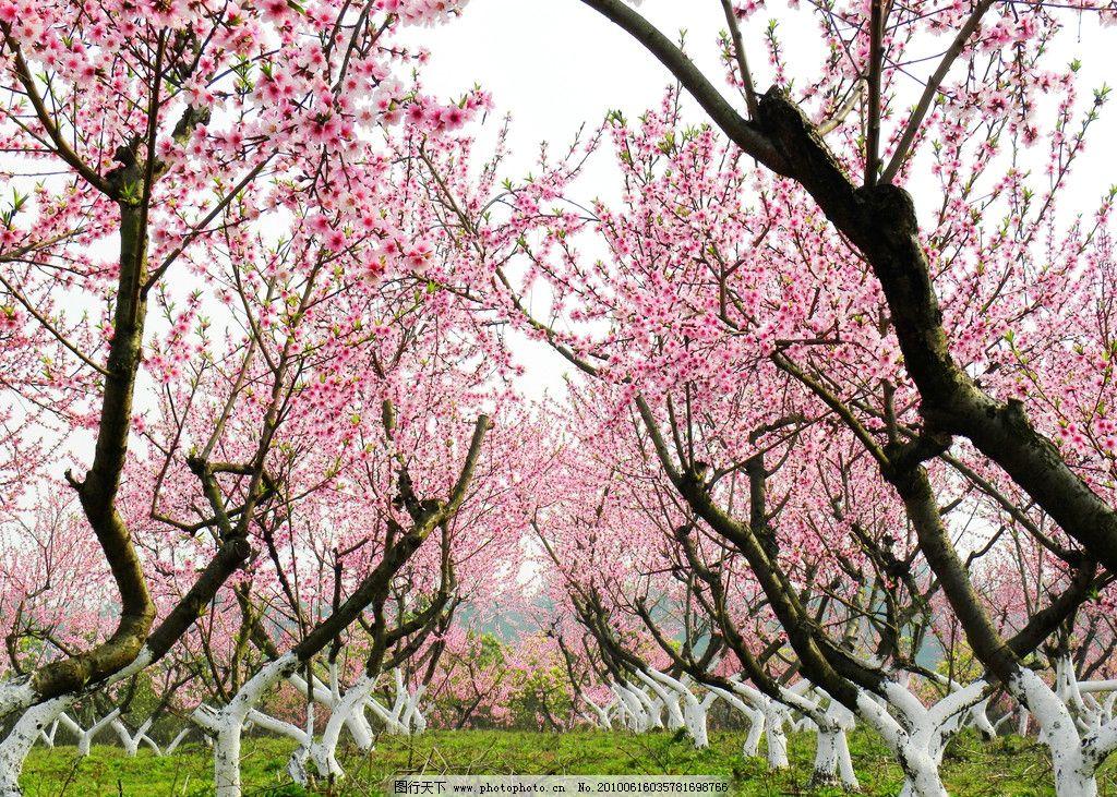 桃花树干树枝简笔画 儿童