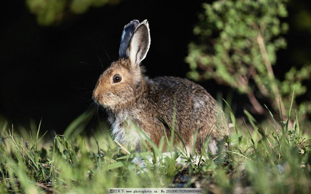 野兔 兔子 长耳朵动物 野生动物 生物世界 摄影 300dpi jpg