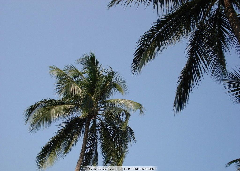 椰子树 海南风光 树木树叶 生物世界 摄影 72dpi jpg