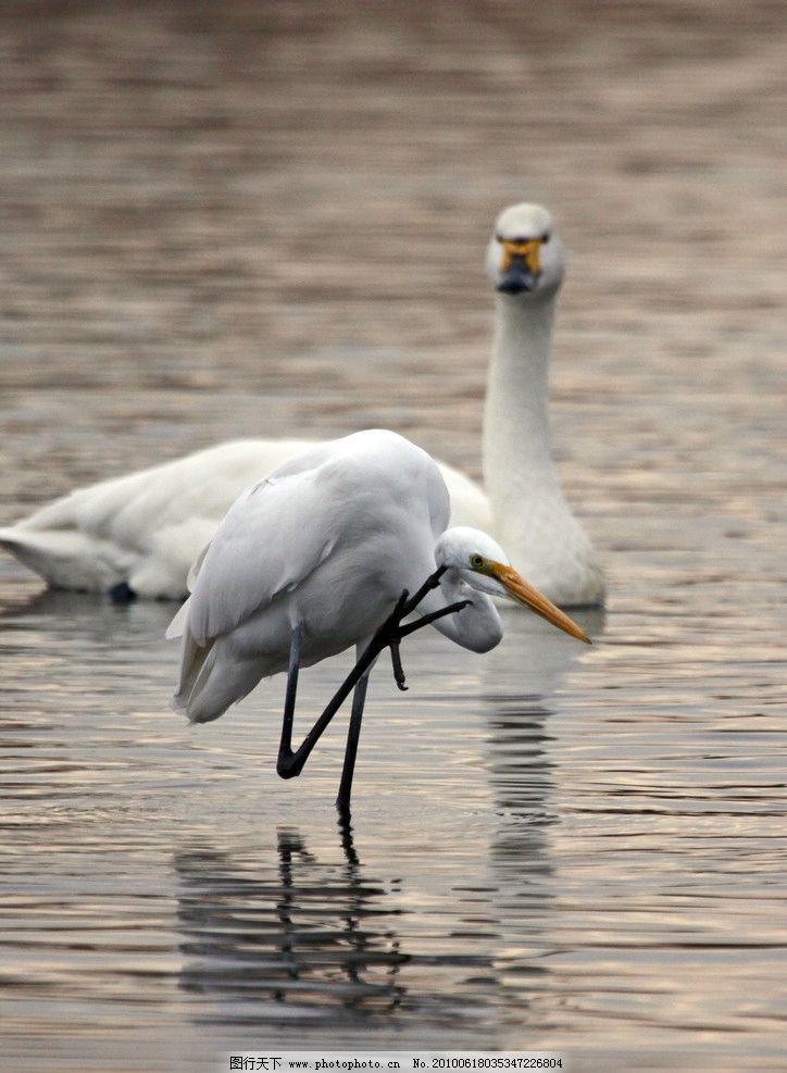 天鹅图片,特写 展翅 鸟类 拍翅膀 飞鸟 国家保护-图行