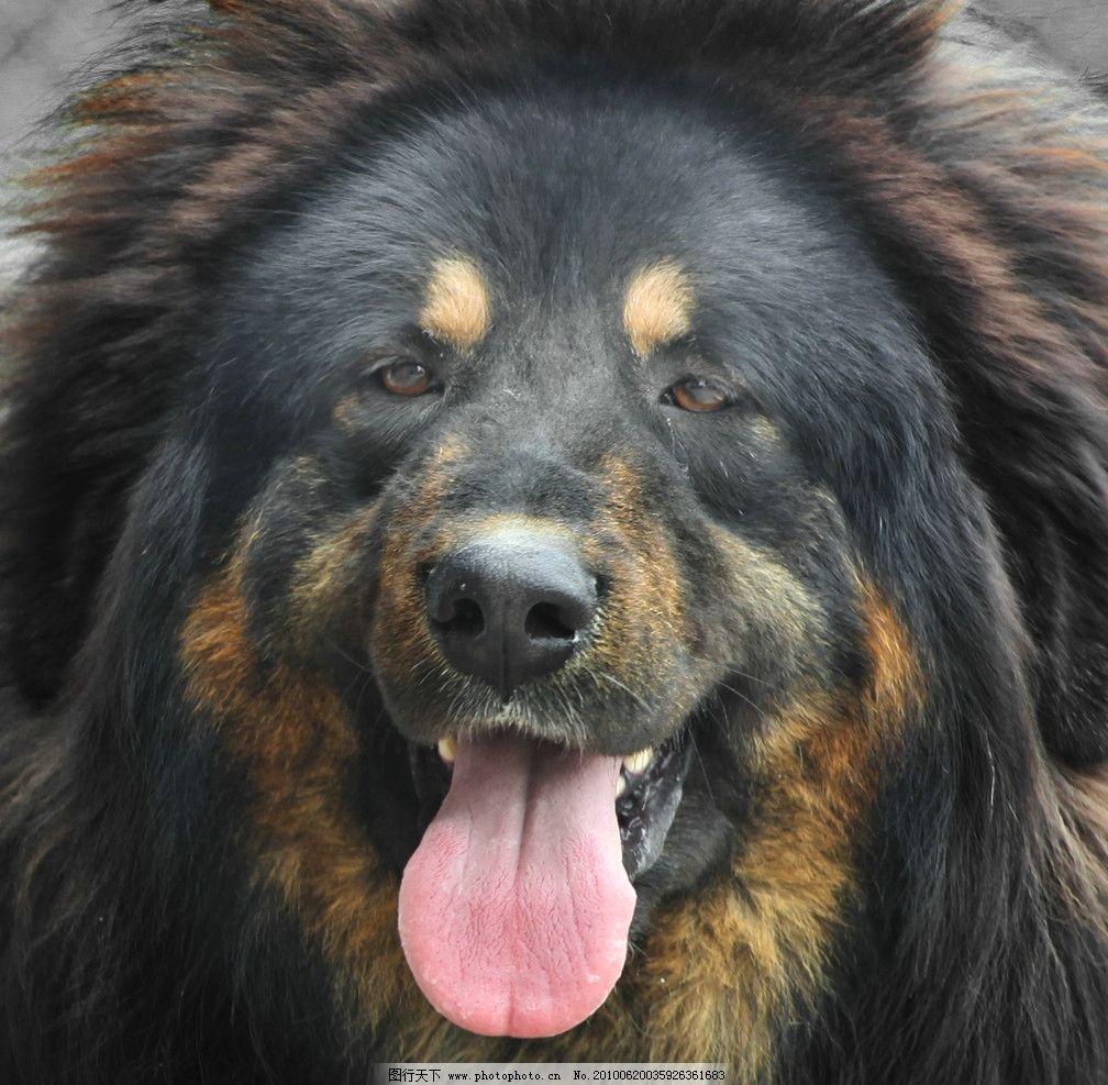 藏獒 西藏 藏区 獒犬 犬只 动物 犬 家禽家畜 生物世界 摄影 72dpi