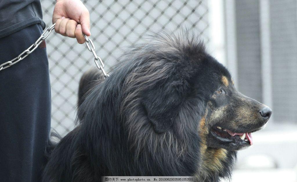 藏獒 犬 名犬 动物 家禽家畜 生物世界 摄影 72dpi jpg