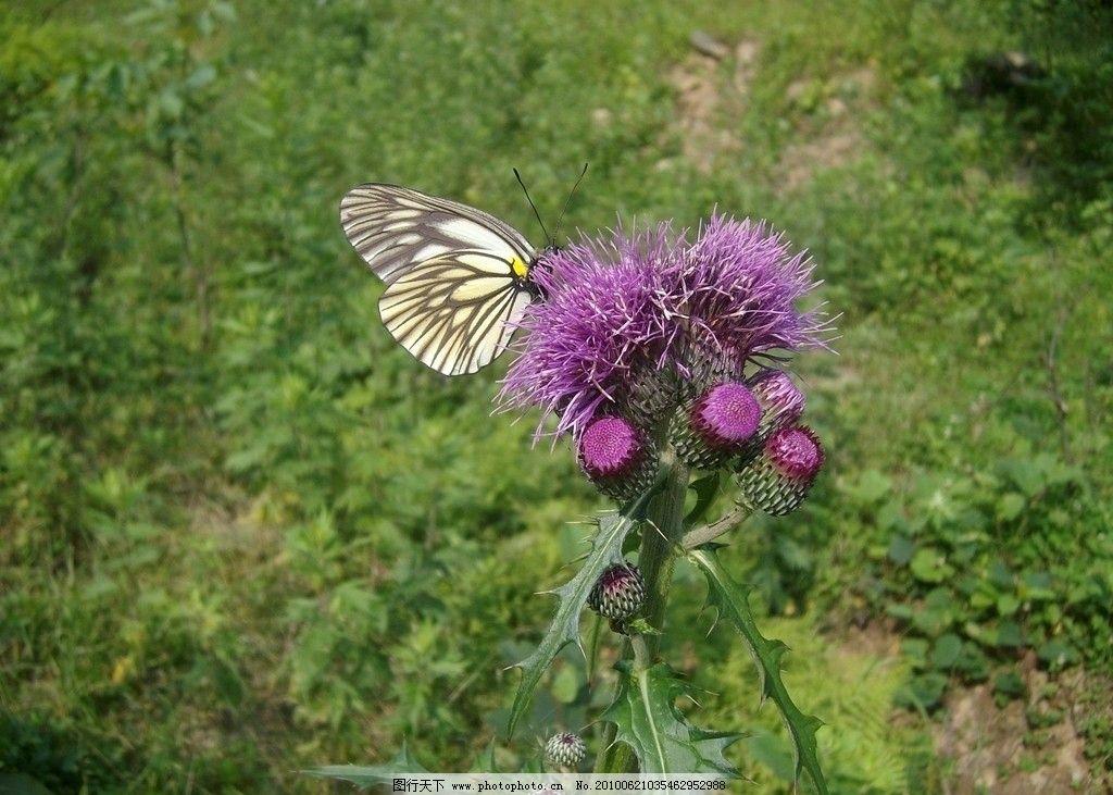 蝴蝶 野花 春天 野外 拍摄 风景 昆虫 生物世界 摄影 230dpi jpg