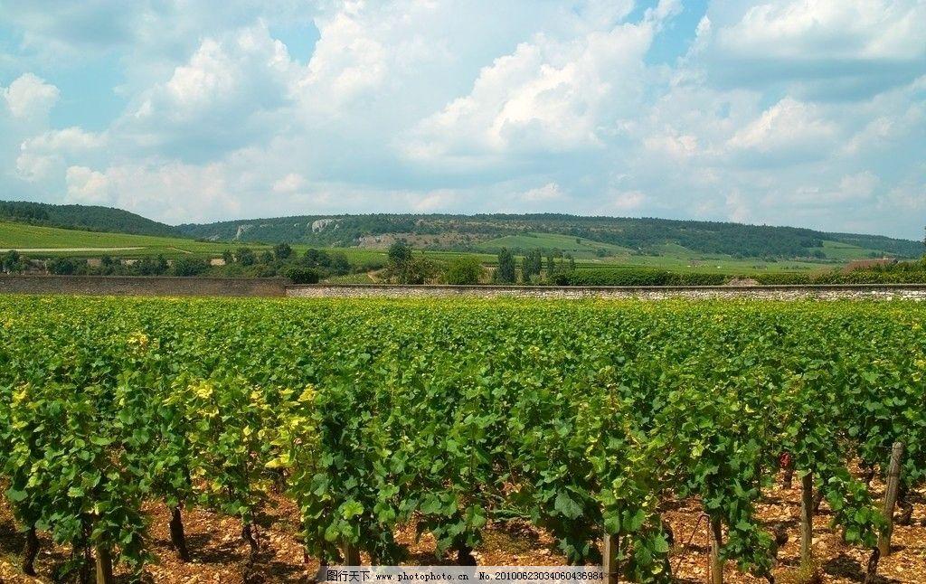 葡萄/法国第戎葡萄种植园图片