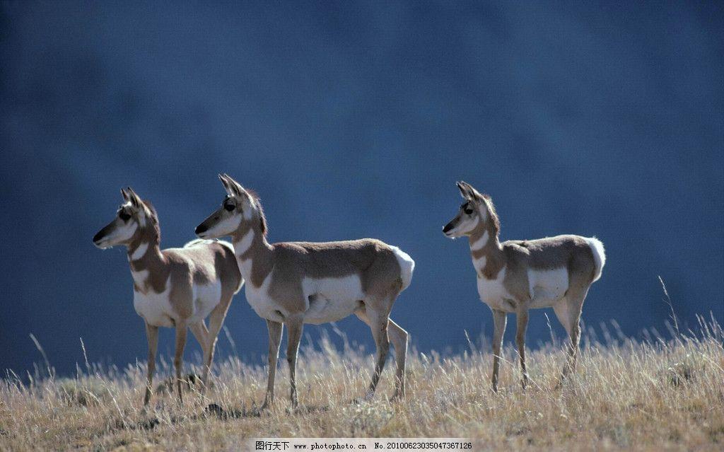 小麋鹿 草原动物 森林 野生动物 生物世界 摄影 300dpi jpg