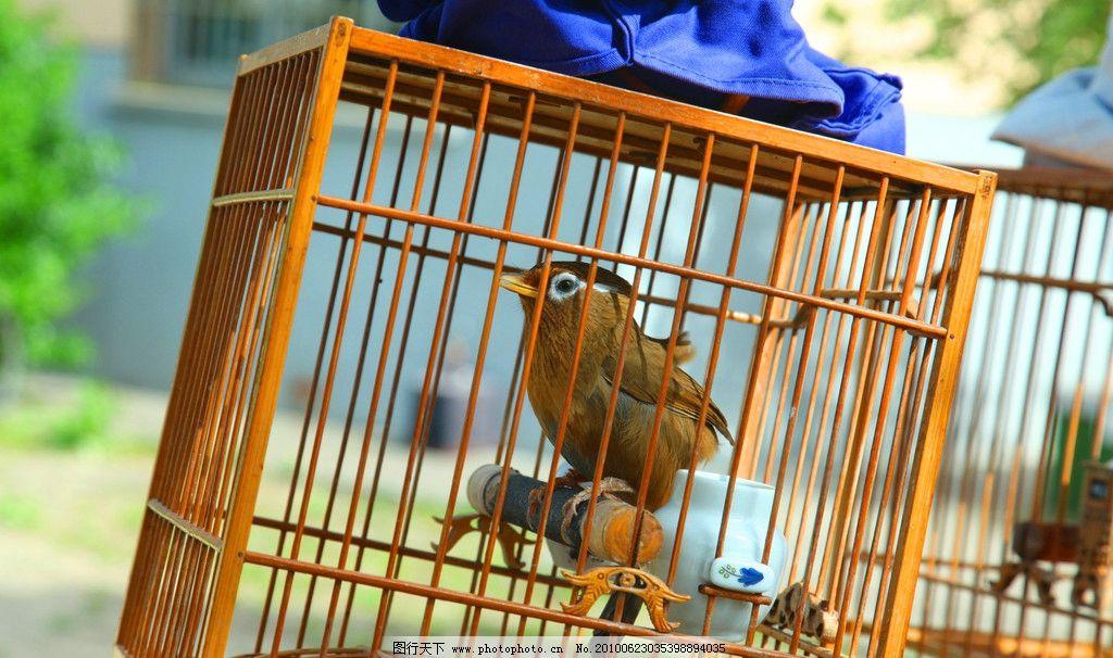 画眉 遛鸟 鸟 鸟笼 养鸟 鸟类 笼子 鸣叫 生物世界 摄影 72dpi jpg