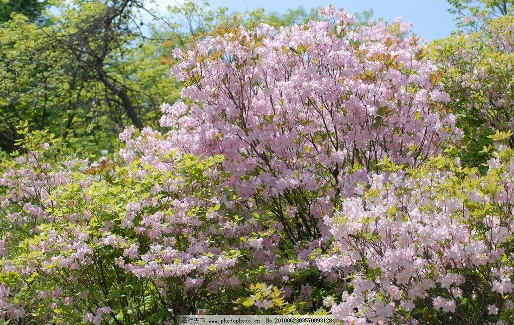 山杜鹃 杜鹃花 花团锦簇 花丛 春天 花草 生物世界 摄影 300dpi jpg