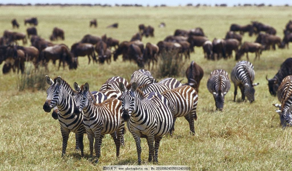 非洲斑马群 非洲 斑马 野生动物 生物世界 摄影 299dpi jpg