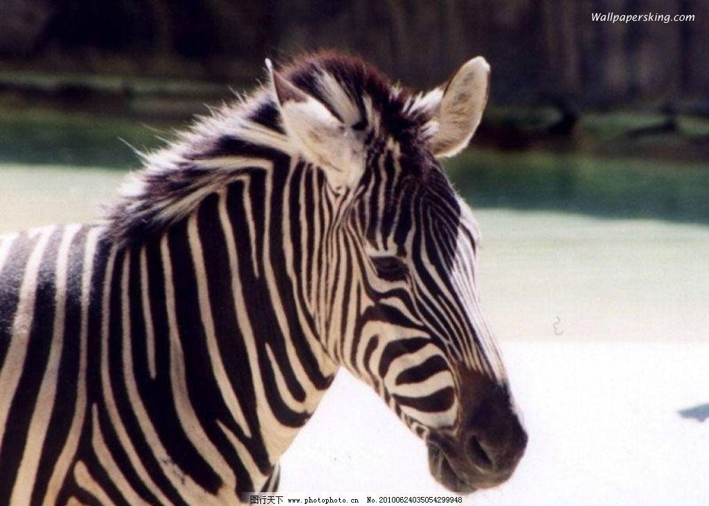 斑马 野生动物 生物世界 摄影 72dpi jpg