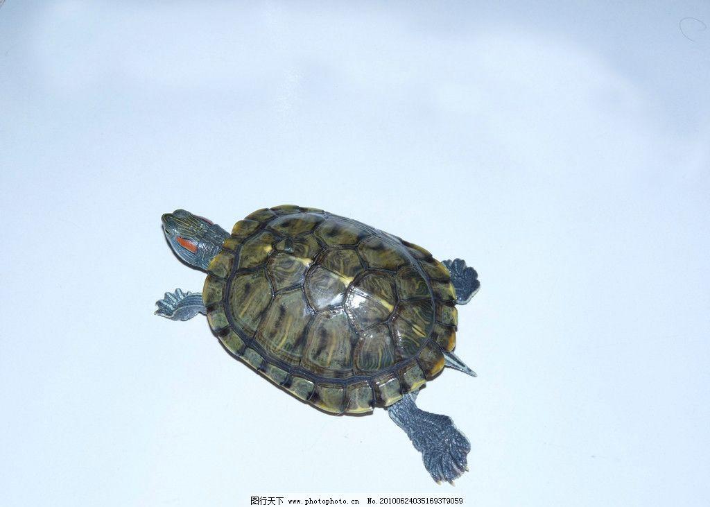 金龟 宠物 可爱动物 绿毛龟 水生动物 海洋生物 生物世界 摄影