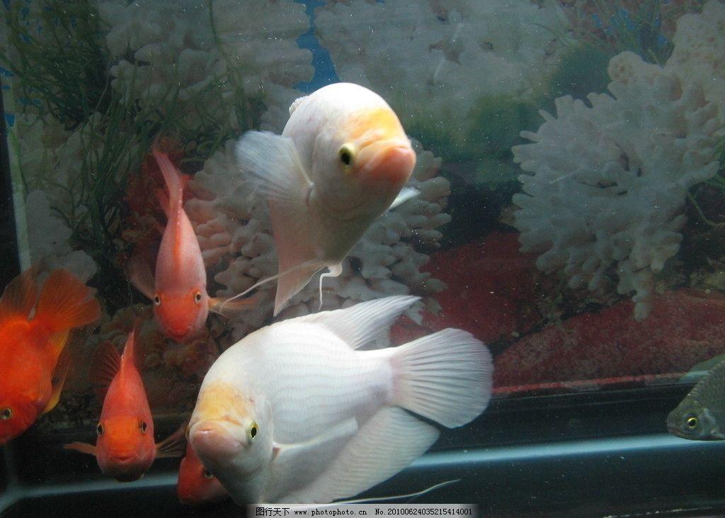 红鹦鹉 发财鱼 鱼 水生动物 鱼类 生物世界 摄影 180dpi jpg
