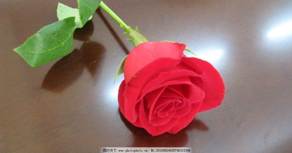 玫瑰花 玫瑰 花 一枝花 红色 爱 红色玫瑰 花草 生物世界 摄影 180dpi