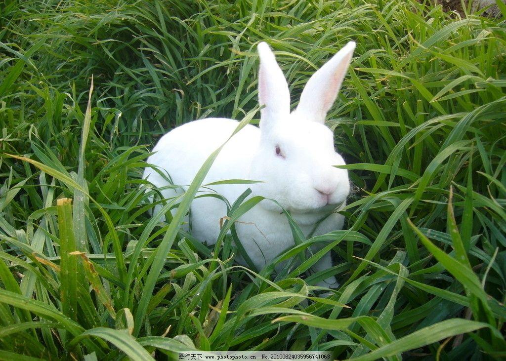 白兔 獭兔 可爱 小兔子 青草 家禽家畜 生物世界 摄影 72dpi jpg