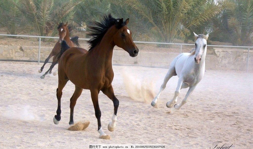 奔腾的马 白马 褐色的马 野生动物 生物世界 摄影 72dpi jpg