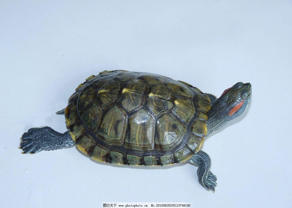 乌龟 金龟 观赏 观赏龟 水族 可爱 宠物 水生动物 摄影