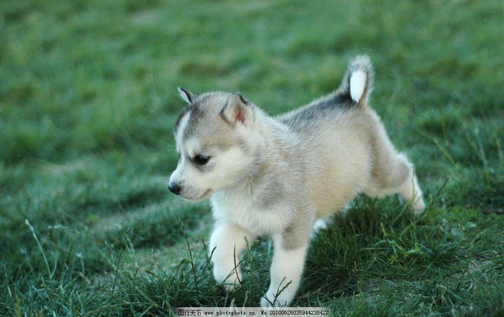 小狗宝宝 狗狗 哈士奇 西伯利亚雪橇犬 雪域传奇 狼 哈士奇狗宝宝满月