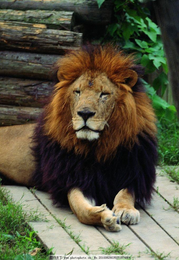 狮子 动物 野生 非洲 草原