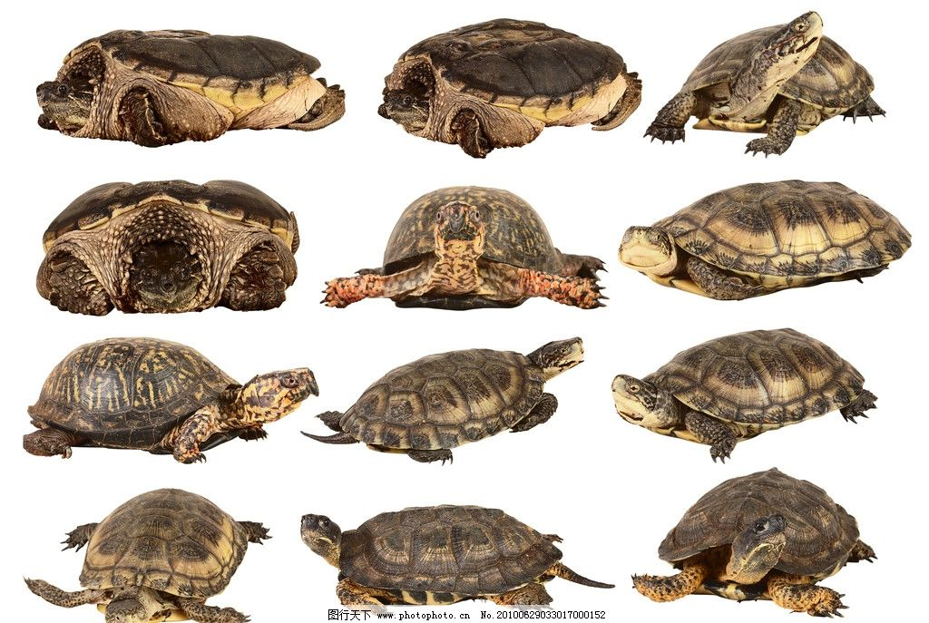 乌龟 王八 龟 缩头乌龟 各种乌龟形态 不同姿势的乌龟 动物 psd 爬行