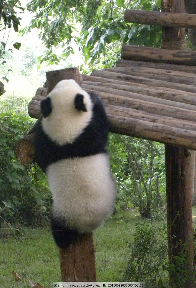 大熊猫 上树 成都大熊猫 木桩 可爱 国宝 野生动物 生物世界 摄影 300
