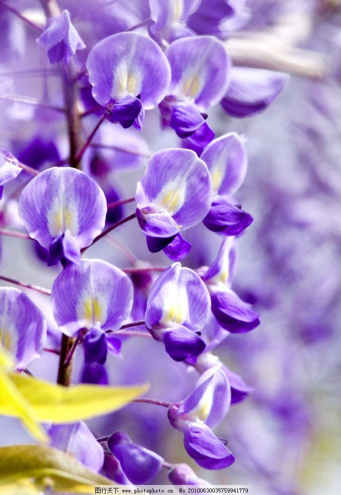 紫色小花 藤蔓