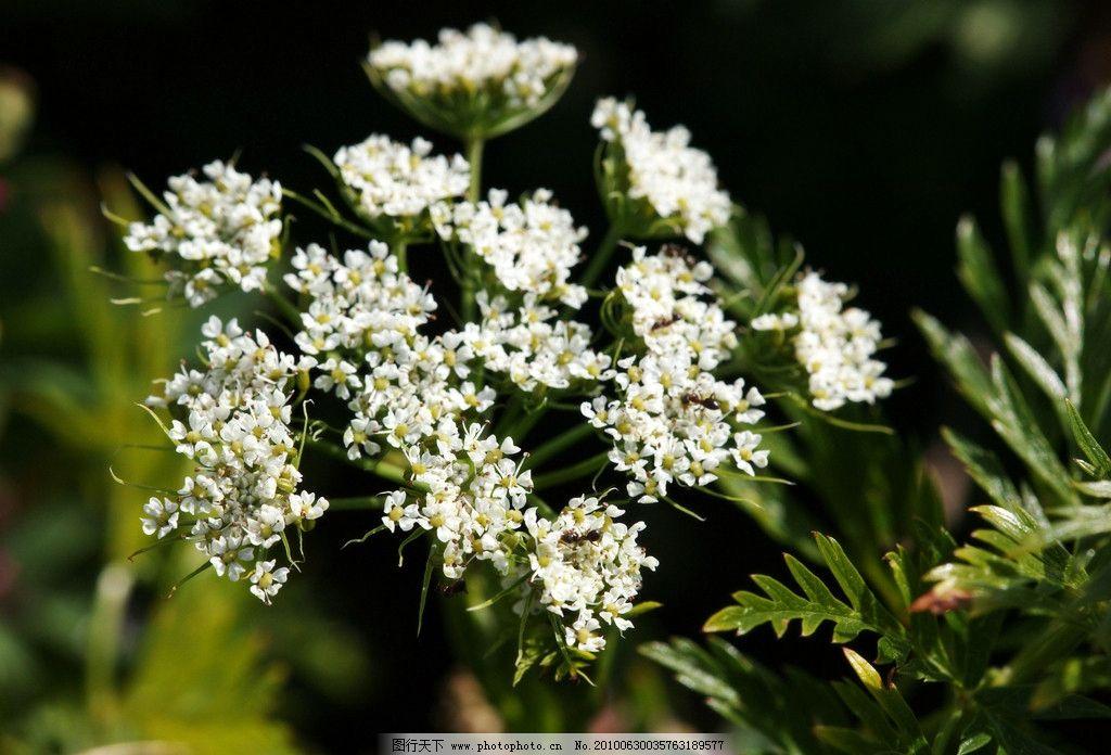 白色小花图片
