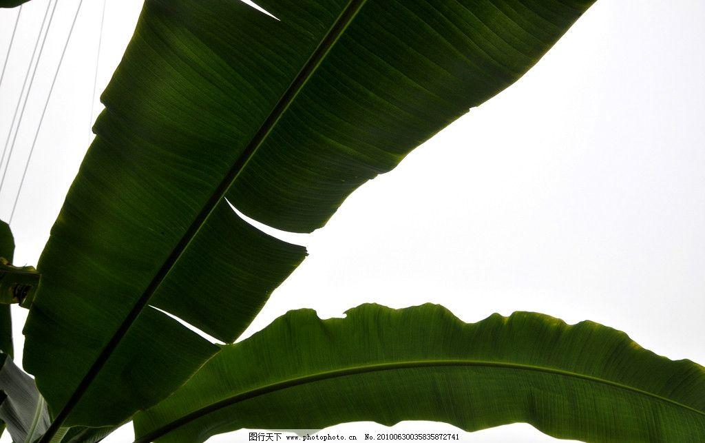 芭蕉叶 芭蕉 大叶 田园风光 自然 绿色 自然景观 摄影 300dpi jpg